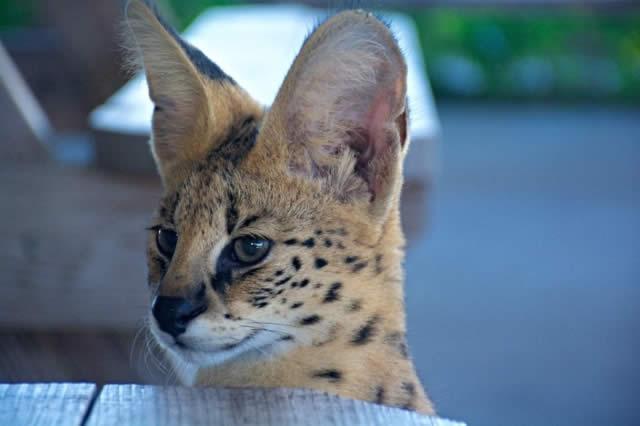 Safari Wilderness, o melhor Safari livre da Flórida